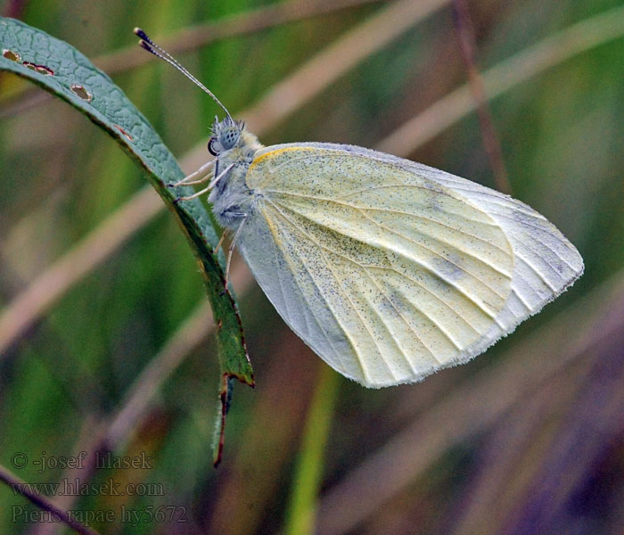 Blanquita Col Rovefjäril Репная белянка Pieris rapae