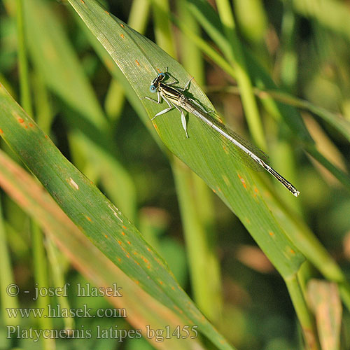 Platycnemis latipes bg1455