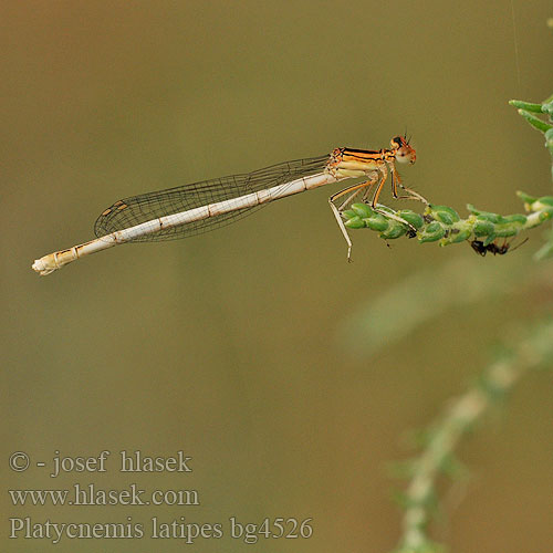 Platycnemis latipes bg4526