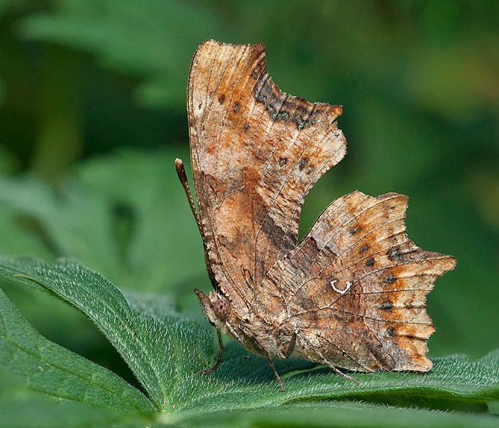 Robert Diable Polygonia c-album
