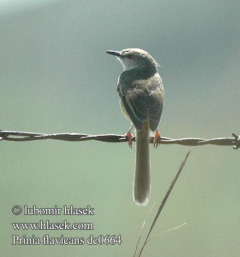 Prinia flavicans Black chested Prinia Black-chested Longtail Blackchested Drakensberg Prinia