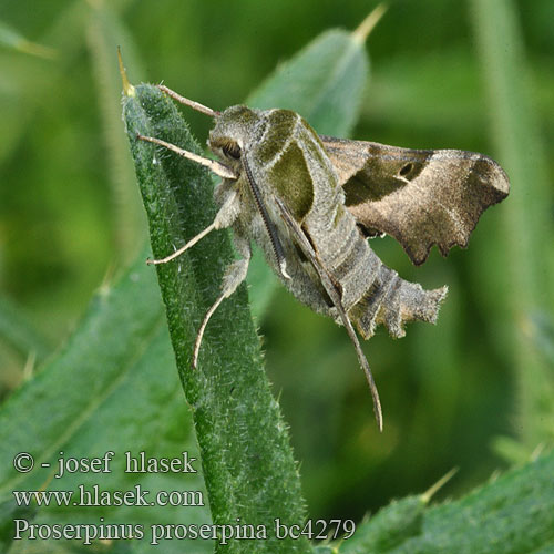 Proserpinus proserpina Willowherb Hawk-moth Helokkikiitäjä Sphinx épilobe Teunisbloempijlstaart Törpeszender Nachtkerzenschwärmer Postojak wiesiołkowiec Бражник зубокрылый прозерпина Lišaj pupalkový クロオビノコギリスズメ Бражник Прозерпіна Nattljussvärmare Nakvišinis sfinksas