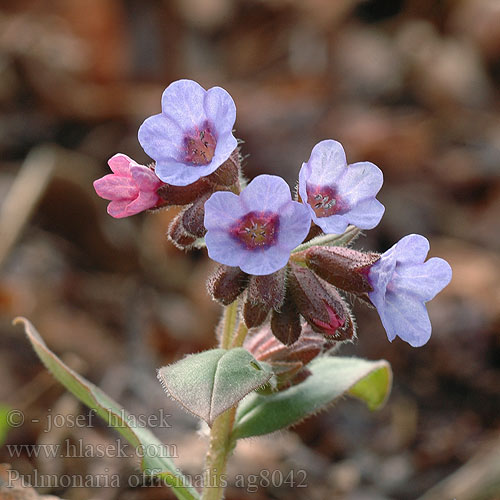 Pulmonaria officinalis Echtes Lungenkraut Pulmonaire officinale