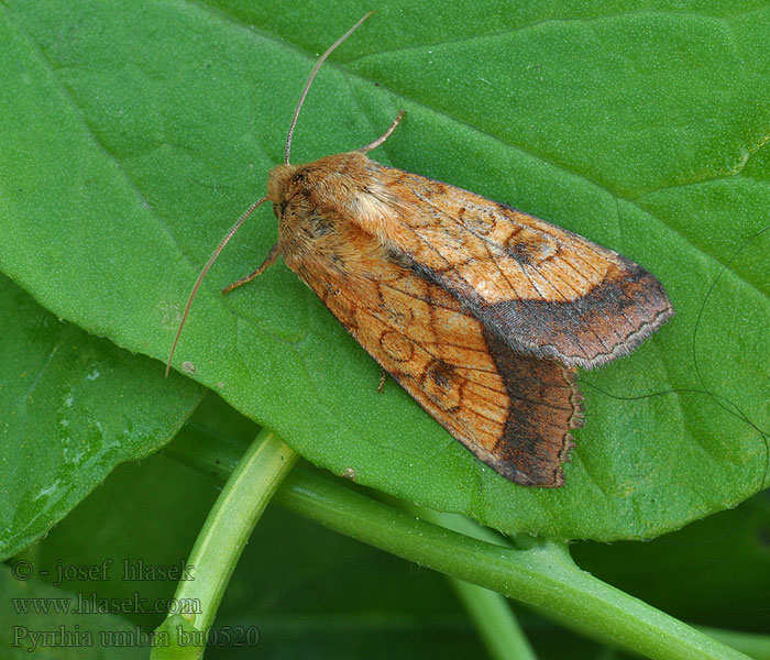 Bordered Sallow Goldbraune Hauhecheleule Pyrrhia umbra