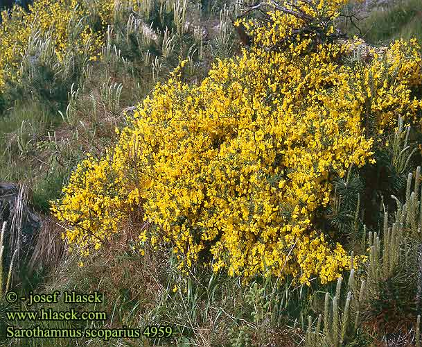 Sarothamnus scoparius Cytisus scoparius Broom Besenginster