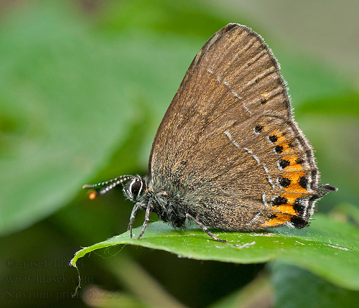 Satyrium pruni Black Hairstreak thécla prunellier Szilvafalepke