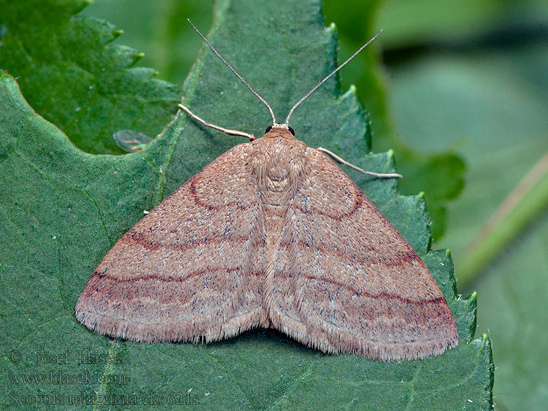 Tawny Wave Scopula rubiginata