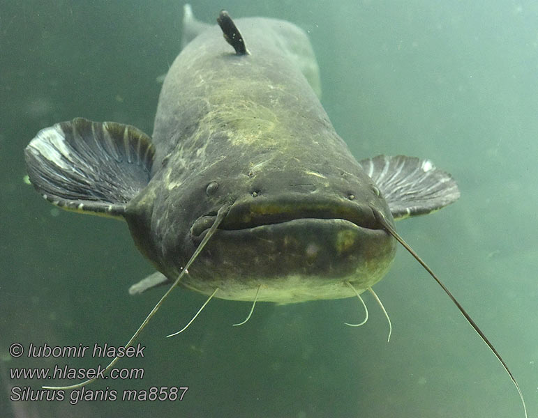 Silurus glanis Wels catfish Sheatfish