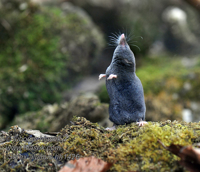Sorex alpinus Alpine shrew