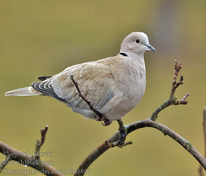 Türkentaube Collared Dove Streptopelia decaocto