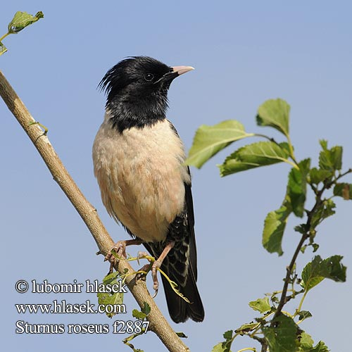 Rose-coloured Starling Rosenstar