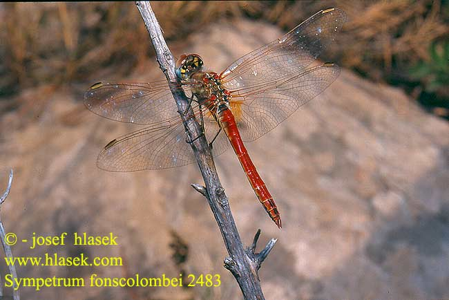 Sympetrum fonscolombei Zwervende heidelibel Frühe Heidelibelle Szablak Vážka jarní Сжатобрюх Фонсколомба Тонкочеревець Фонсколомба Red-veined Darter Malinovordeči kamenjak