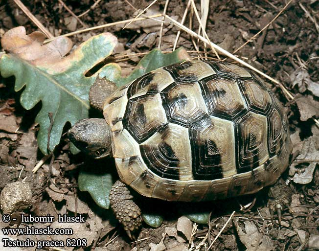 Testudo graeca 8208 DE: Maurische Landschildkröte UK: Turkish Greek Spur-thighed Tortoise IT: testuggine greca CZ: želva řecká TR: Adi tosbaga FR: Tortue grecque PL: Żółw Iberyjski SK: korytnačka žltohnedá HU: Mór teknős RU: Средиземноморская черепаха GR: Ελληνική Χελώνα YU: грчка корњача SL: mavrska želva RO: ţestoasa de uscat dobrogeană HU: Mór teknős BG: Шипобедрената костенурка HR: grčka čančara