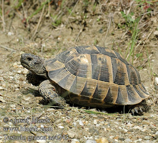 Testudo graeca ae4243 DE: Maurische Landschildkröte UK: Turkish Greek Spur-thighed Tortoise IT: testuggine greca CZ: želva řecká TR: Adi tosbaga FR: Tortue grecque PL: Żółw Iberyjski SK: korytnačka žltohnedá HU: Mór teknős RU: Средиземноморская черепаха GR: Ελληνική Χελώνα YU: грчка корњача SL: mavrska želva RO: ţestoasa de uscat dobrogeană HU: Mór teknős BG: Шипобедрената костенурка HR: grčka čančara