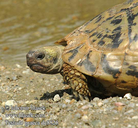 Testudo graeca dc8825 DE: Maurische Landschildkröte UK: Turkish Greek Spur-thighed Tortoise IT: testuggine greca CZ: želva řecká TR: Adi tosbaga FR: Tortue grecque PL: Żółw Iberyjski SK: korytnačka žltohnedá HU: Mór teknős RU: Средиземноморская черепаха GR: Ελληνική Χελώνα YU: грчка корњача SL: mavrska želva RO: ţestoasa de uscat dobrogeană HU: Mór teknős BG: Шипобедрената костенурка HR: grčka čančara
