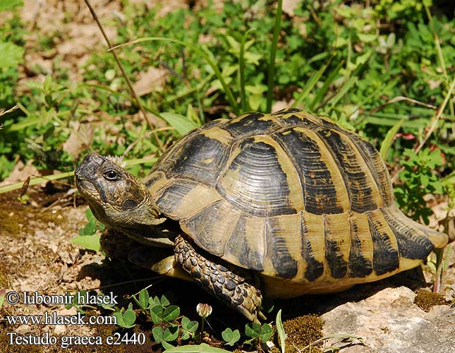 Testudo graeca e2440 DE: Maurische Landschildkröte UK: Turkish Greek Spur-thighed Tortoise IT: testuggine greca CZ: želva řecká TR: Adi tosbaga FR: Tortue grecque PL: Żółw Iberyjski SK: korytnačka žltohnedá HU: Mór teknős RU: Средиземноморская черепаха GR: Ελληνική Χελώνα YU: грчка корњача SL: mavrska želva RO: ţestoasa de uscat dobrogeană HU: Mór teknős BG: Шипобедрената костенурка HR: grčka čančara