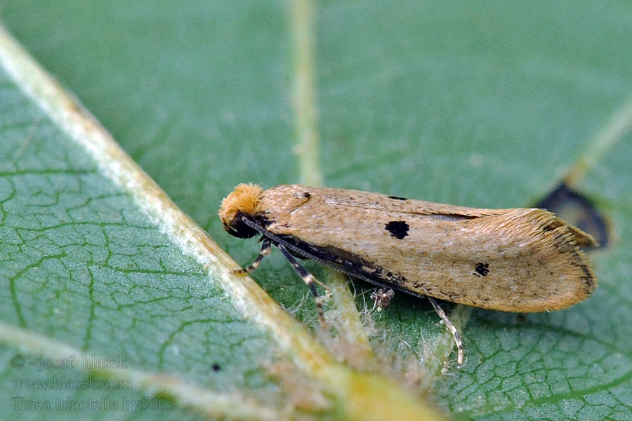Bird's-nest Moth Tinea trinotella
