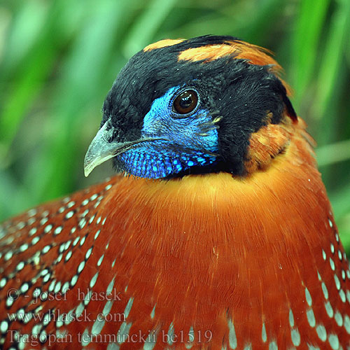 Tragopan temminckii be1519