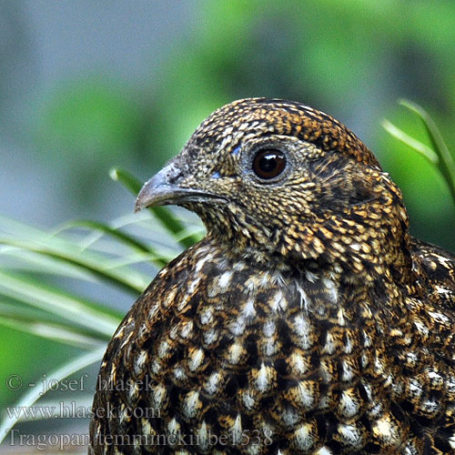 Tragopan temminckii be1538