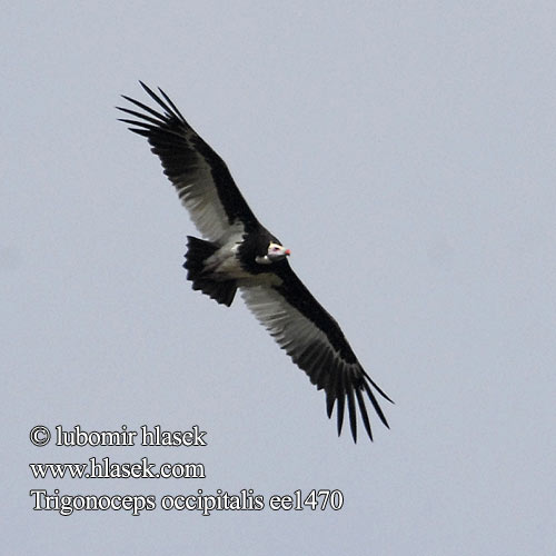 Trigonoceps occipitalis White-headed Vulture Sup chocholatý Wollkopfgeier Hvidhovedet Grib Buitre Cabeciblanco Kirjokorppikotka Vautour tête blanche Avvoltoio testabianca カオジロハゲワシ Witkopgier Sep bialoglowy Abutre-de-cabeça-branca Белоголовый гриф Witkopaasvoël Африкански белоглав лешояд עזנית הציצית Hvithodegribb