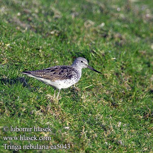 Tringa nebularia Common Greenshank Hvidklire