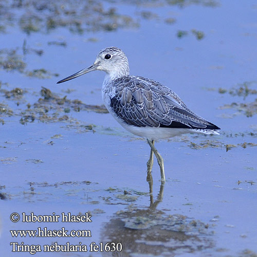 Zelenonogi martinec Common Greenshank Hvidklire