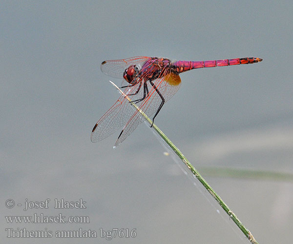 Purple-Blushed Darter Violet Dropwing