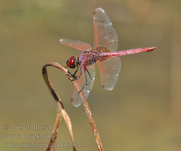 Purple-Blushed Darter Violet Dropwing Purperlibel