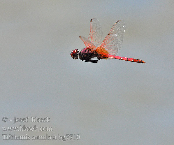 Trithemis annulata Purple-Blushed Darter Violet Dropwing
