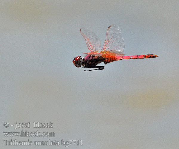 Trithemis annulata Purple-Blushed Darter