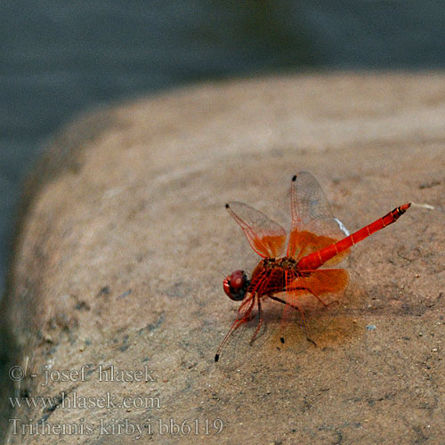 Trithemis kirbyi Orange-winged Dropwing Kirby's 非洲紅蜻蜓(學名 Oranje zonnewijzer トンボ科 Gefleckter Sonnenzeiger