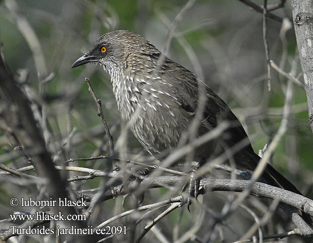 Pylvlerkkatlagter Letsheganoga ヤモンヤブチメドリ Бурая дроздовая тимелия Turdoides jardineii Arrow-marked Arrowmarked Babbler Plettet Larmdrossel Nuolitimali Cratérope fléché Pijlpuntbabbelaar Garrulo lanceolato Braundrossling Tymal kroplisty Timálie africká