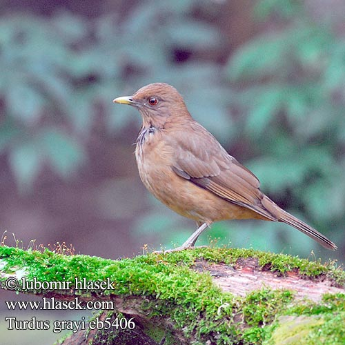 Turdus grayi Clay-colored Thrush Drozd hnědý Gilbdrossel Lerdrossel