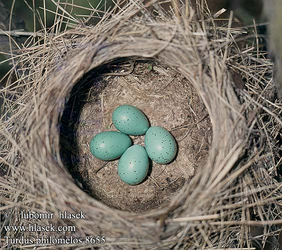 eggs nest Turdus philomelos Song Trush Singdrossel