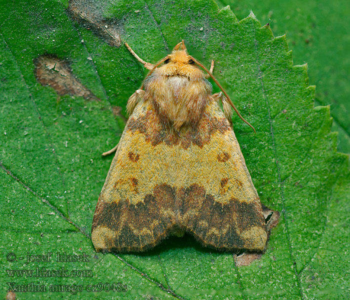 Barred Sallow Xanthia aurago