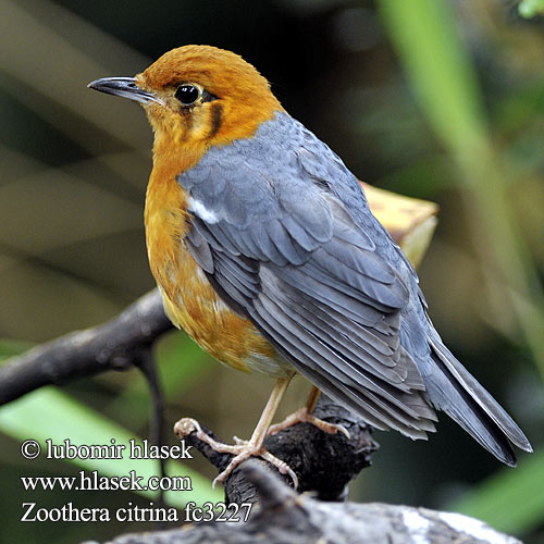 Zoothera citrina Orange-headed Thrush Drozd oranžovohlavý